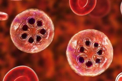 Bilde av malaria-infiserte røde blodceller
